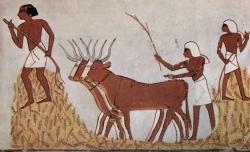 Bueyes pisoteando el grano. Tebas. Valle de los Reyes. Tumba Menna