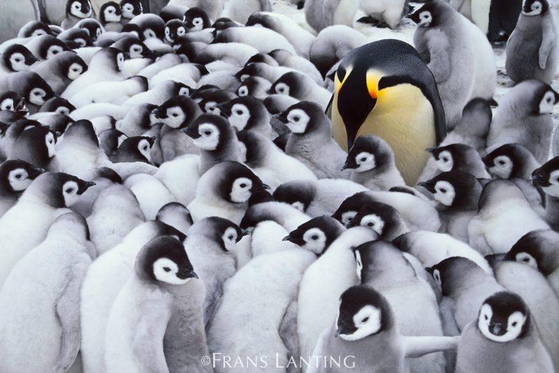 Frans Lanting: Pingüino emperador
