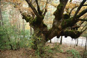 Ainielle: la lluvia amarilla. Por la pista forestal.