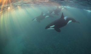 Underwater Photographer (2017): Orca Pod