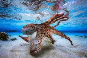 Underwater Photographer (2017): Dancing Octopus