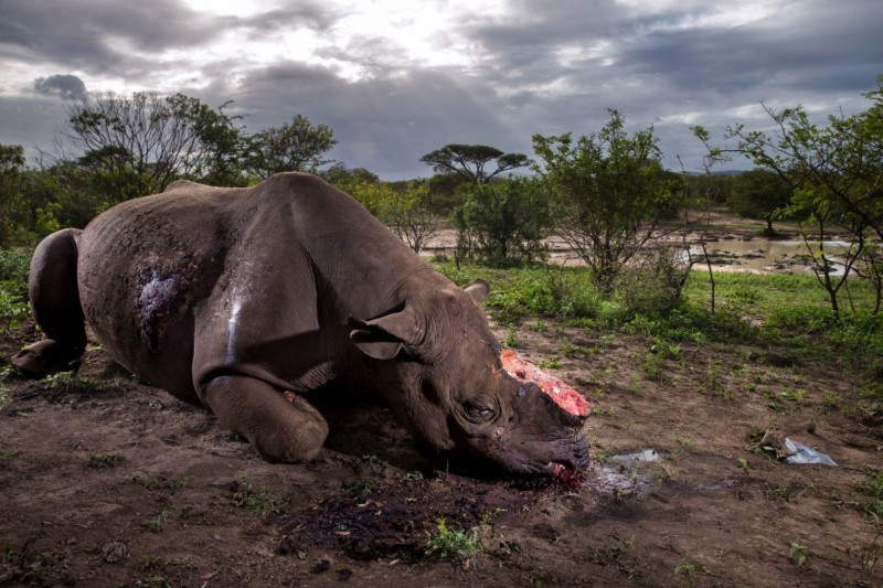 Photo Contest (2017). Rhino Wars (Brent Stirton)