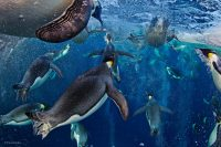 Wildlife Photographer of the Year. 2012: Paul Nicklen.