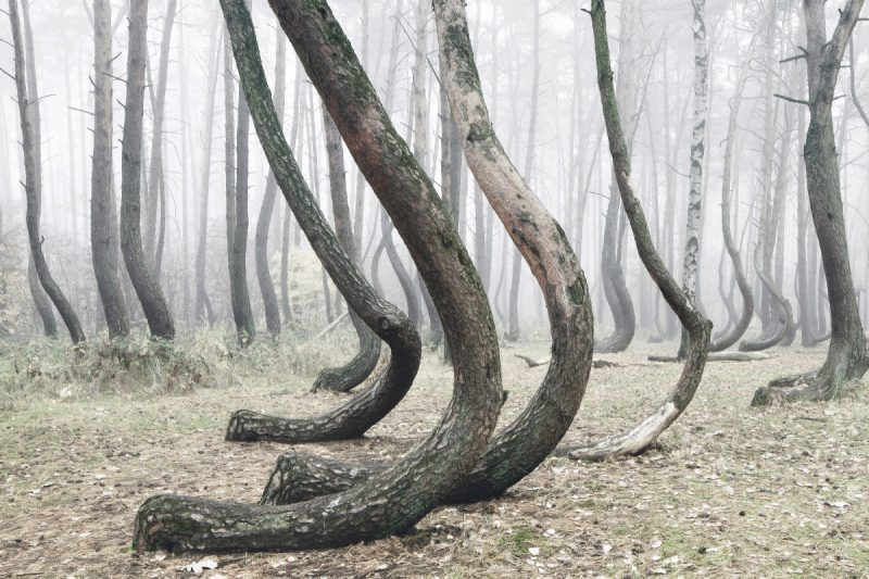 El bosque torcido