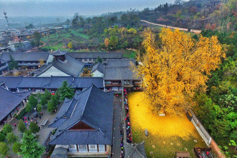 Ginkgo. Templo budista Gu Guanyin en las montañas Zhongnan (China)
