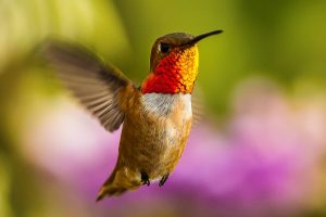 Audubon Mural Project. Colibrí de Allen (especie amenazada)