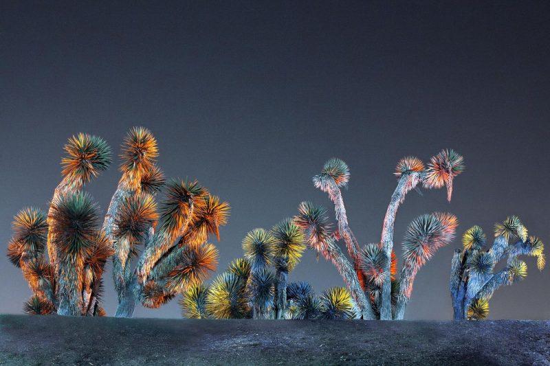 Nocturnes couleur. Yuccas, Cachucha, Mexique. 2012.