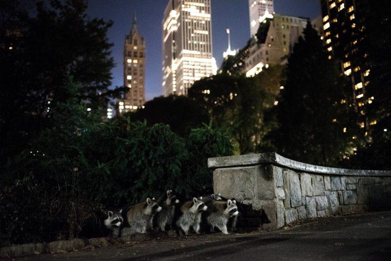 Un grupo de mapaches se reúne en el borde de un sendero del Central Park de Nueva York. Allí esperan pacientes a los paseantes nocturnos que les ofrecen comida.
