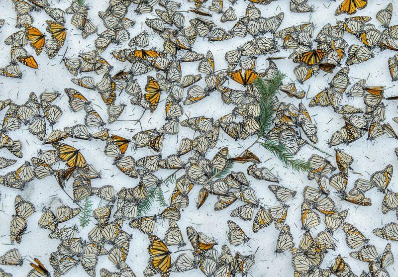 Un manto de mariposas monarca muertas cubre el suelo nevado de un bosque del estado de Michoacán (México). Al menos nueve millones de mariposas —más del 40% de esta colonia— perecieron en su santuario de montaña durante una tormenta primaveral, cuya inusitada virulencia podría atribuirse al cambio climático.
