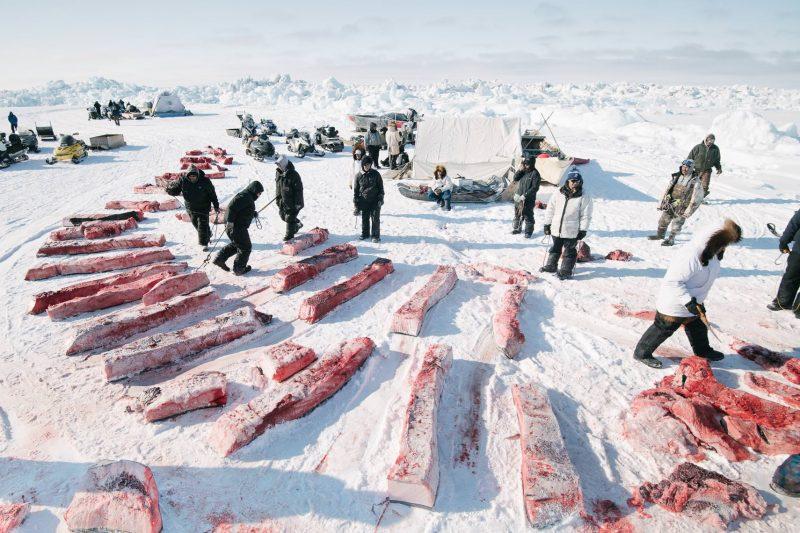La división de la carne y la grasa de ballena se rige por la tradición Iñupiaq, es decir, se distribuye equitativamente para garantozar así que todo el mundo se beneficie de la caza.