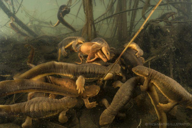 Tritones de piel rugosa (Taricha granulosa). Río Willamette (Oregon)
