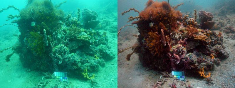 Imagen de un coral antes y después de ser procesada la imagen por el algoritmo Sea-thru