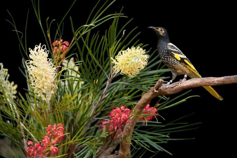El mielero regente es un ave en peligro crítico de extinción que se distribuye por los bosques y sabanas de la costa este de Nueva Gales del Sur, donde los incendios y la sequía han sido intensos. Fotografía de Joel Sartore, National Geographic Photo Ark.