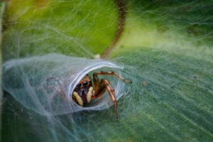 Jumping spider nest (Jesslyn Saw)