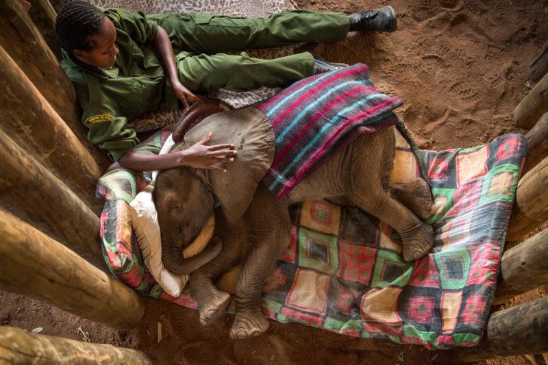 Una cría de elefante huérfana recibe los mimos de un cuidador en el Santuario de Elefantes Reteti. Fotografía: Ami Vitale.