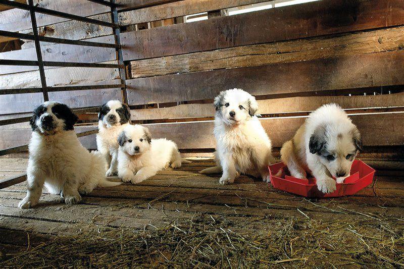 Cachorros de mastín del Pirineo; al convivir con las ovejas desde pequeños, se integran en el rebaño y desarrollan un fuerte instinto protector.