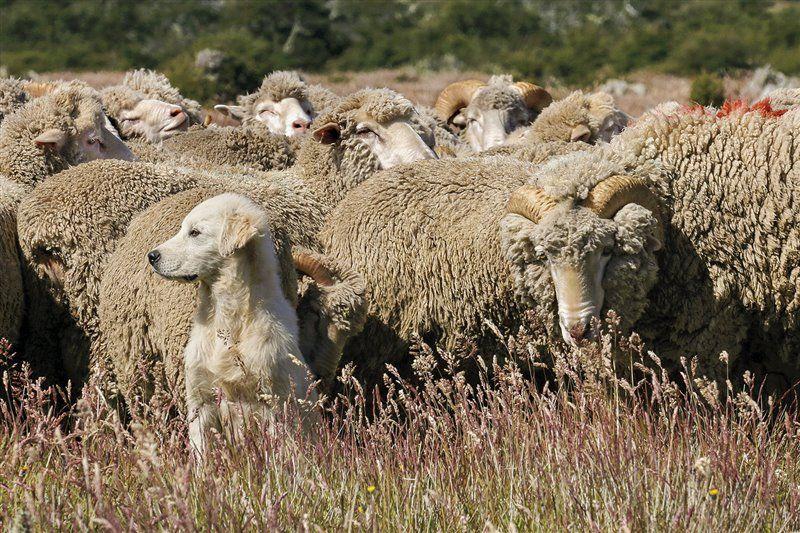 Un ejemplar joven, cruce entre mastín del Pirineo y pastor Maremma italiano, con su rebaño de ovejas, a las que defenderá ante el eventual ataque de un puma