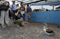 A blue-footed booby watches tourists in Puerto Ayora, on the island of Santa Cruz in the Galápagos. Credit Ruth Fremson/The New York Times