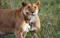 A lioness gives a lift to one of her cubs at Masai Mara National Reserve. (Jamie Swain / DK Grand Safaris)