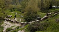 A shepherd guides his sheep through a stream in rural Greece in 2013. (Dimitri Messinis/Associated Press)