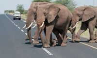 Elephants cross the road to Ngorongoro in Tanzania. Photograph: Laura Romin & Larry Dalton/Alamy