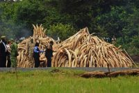 El presidente keniano, Uhuru Kenyatta, fue el encargado de iniciar la quema de las once pilas de marfil en el Parque Nacional de Nairobi, donde el año pasado ya se quemaron otras 15 toneladas como acto de protesta contra los furtivos, el 30 de abril de 2016.