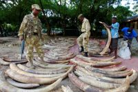 Kenya Wildlife Services rangers arrange elephant tusks recovered from an ivory-smuggling gang, on July 22. (Joseph Okanga/Reuters)