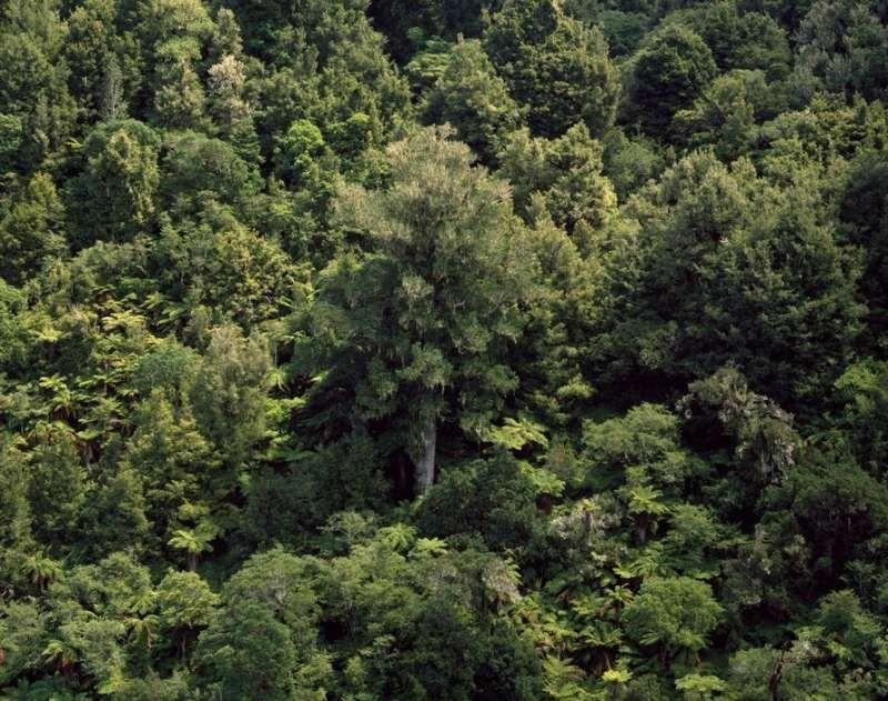 NEW ZEALAND. Native forest near Whakahoro. 2008.