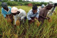 Des paysannes dans une rizière de la région de Daloa, en Côte-d'Ivoire. Photo Georges Gobet. AFP