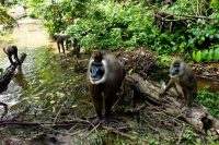 In Cross River State, Nigeria, the Afi Mountain Wildlife Sanctuary for drill monkeys and chimpanzees. Credit Mark Shenley