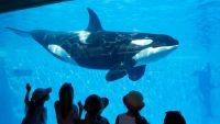 SeaWorld San Diego visitors view an Orca whale through a window at the park on Aug 14, 2014. (Los Angeles Times)
