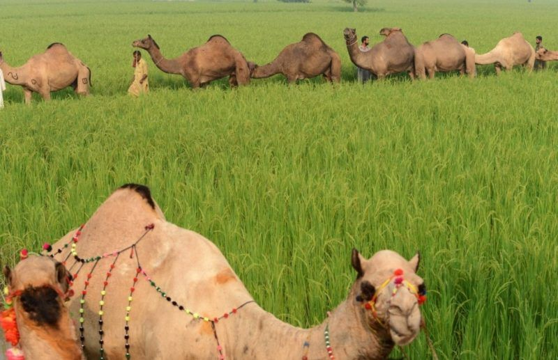 In this file photo, Pakistani livestock traders walk with their camels through a rice field near an animal market in Lahore on Oct. 8, 2013. (Arif Ali/AFP/Getty Images)