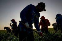 Unos trabajadores agrícolas retiran la hierba en un sembradío de cebolla en la región del Valle Central de California. Credit Matt Black para The New York Times