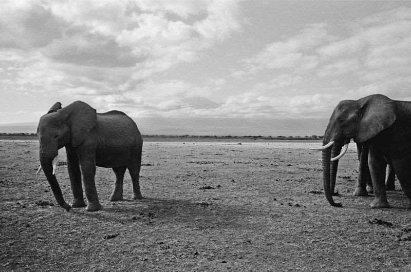 Elephants, with their wondrous size, need vast amounts of food and space. A group crossing a farmer's field can do enough damage to bring about both economic ruin and their own consequent demise. Credit Alex Majoli/Magnum Photos