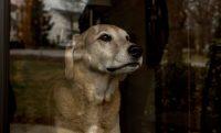Clark, el amado perro de la autora, en su casa de Nashville Credit Andrea Morales para The New York Times