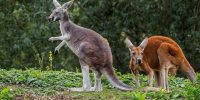 La nación de los canguros