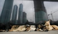Stray dogs outside a metro station in Moscow. Photograph: Denis Sinyakov/REUTERS