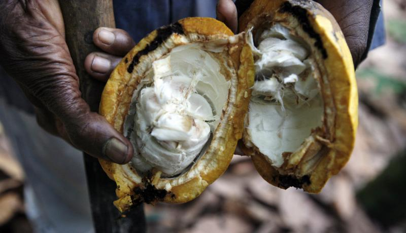 A farmer holds an open cocoa pod on a farm outside of Kumasi, Ghana. Ghana is the world's second biggest cocoa producer after Ivory Coast. Photo: Getty Images.