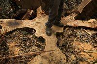 El operador de una motosierra posa de pie sobre las raíces cortadas de un árbol de shihuahuaco durante un proyecto de gestión forestal en Perú. CreditDado Galdieri/Bloomberg
