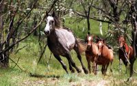 Wild brumbies running through Australia's high country.CreditCreditFairfax Media, via Getty Images