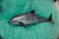 Una vaquita muerta cuyo cuerpo fue recuperado del golfo de California o mar de Cortés. Credit Flip Nicklin/Minden Pictures