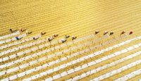 Aerial view of farmers covering corn seedlings with plastic film at a field in Suining, Sichuan Province of China. Photo: Getty Images