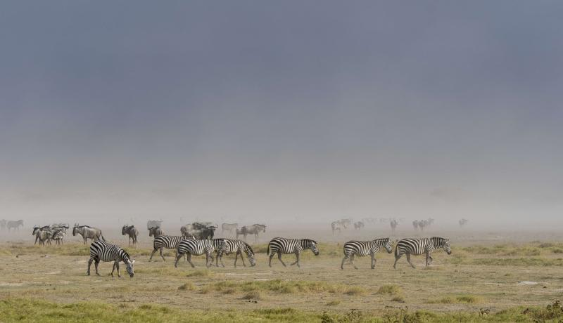 Zebras in a dust storm in Amboseli National Park in Kenya. Photo: Getty Images.