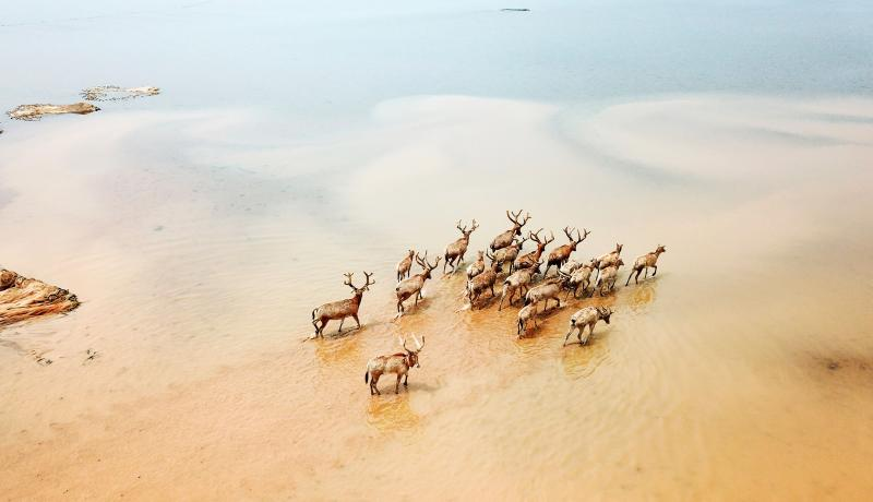 Elks gallop in Nanchang, Jiangxi, China. Elks have been released into the wild to improve biodiversity and protect the ecosystem of China's largest freshwater lake. Photo: Getty Images.
