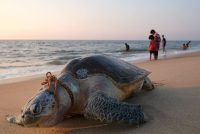 Fishing nets and ropes are a deadly hazard for olive ridley sea turtles. Soren Andersson/Agence France-Presse — Getty Images