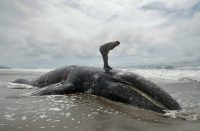 What's Killing Pacific Whales?