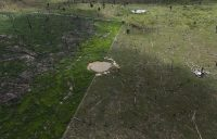 At right, cows grazed on deforested land in Brazil in 2013.CreditCreditNacho Doce/Reuters