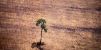 """Vista de un árbol en un área deforestada en medio de la selva amazónica durante un sobrevuelo de activistas de Greenpeace sobre áreas de explotación ilegal de madera, como parte de la segunda etapa del informe """"La crisis silenciosa del Amazonas"""", en el estado de Pará. , Brasil, el 14 de octubre de 2014. Según el informe de Greenpeace, los camiones de madera transportan de noche árboles talados ilegalmente a los aserraderos, que luego los procesan y exportan la madera como si fuera de origen legal a Francia, Bélgica, Suecia y los Países Bajos. . AFP PHOTO / Raphael Alves /"""