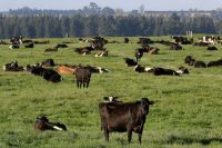 Dairy cows grazing on a farm near Oxford, New Zealand, last year.CreditCreditMark Baker/Associated Press