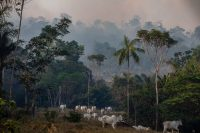 Oxen grazing on a farm in Apiacas, Brazil as forest fires burned in August.Credit...Victor Moriyama for The New York Times